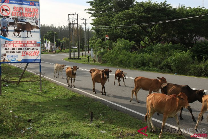Agriculture ministry distributes 1.225 Brahman cross cattles to farmers