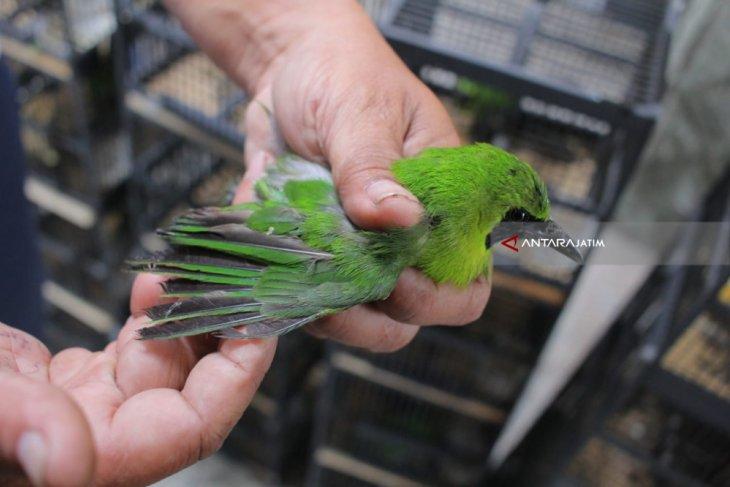 BBKP Surabaya Gagalkan Penyelundupan Ratusan Burung