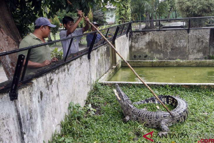 Five saltwater crocodiles trapped in Riau`s Singingi District