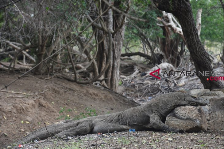 Ministry to clarify plan to close Komodo National Park