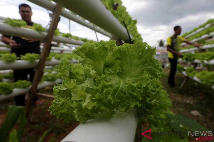 Banjar women trained to plant vegetables hydroponically