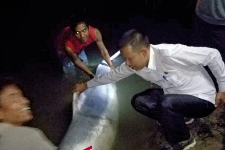 Setelah mati, lumba-lumba putih di Sungai Kualuh dibawa ke Medan