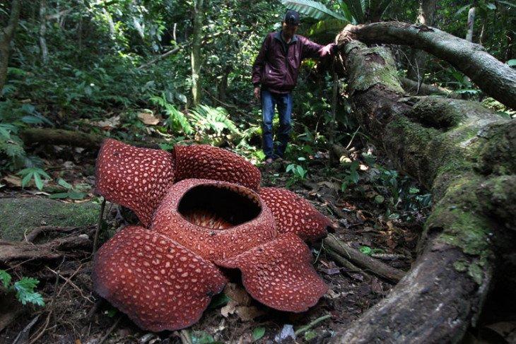 Tujuh bunga Rafflesia gagal mekar di Agam