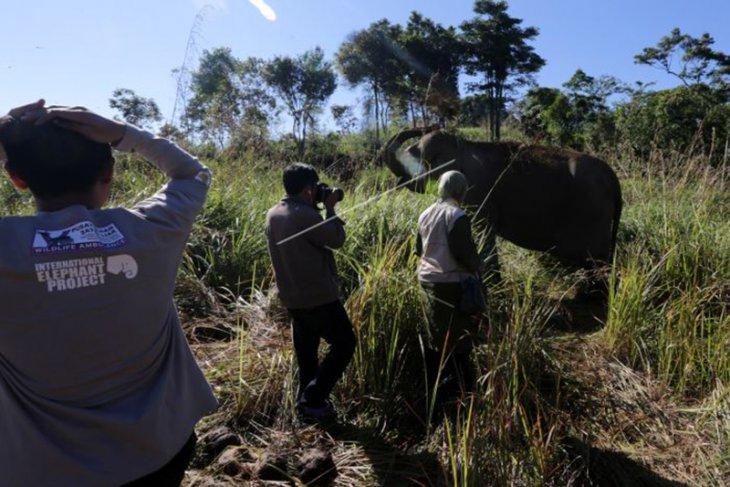 Gajah Jinak Diserang Gajah Liar