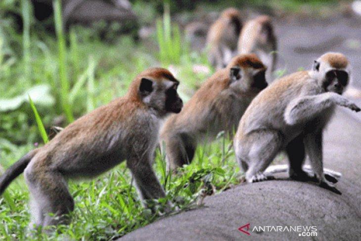 Pemkab Tangerang bentuk kawasan konservasi monyet di Solear