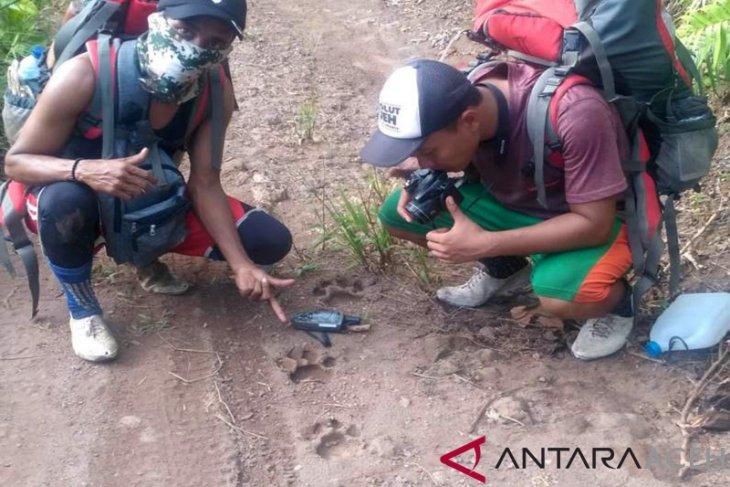 Warga Aceh Jaya resah harimau berkeliaran di dekat pemukiman