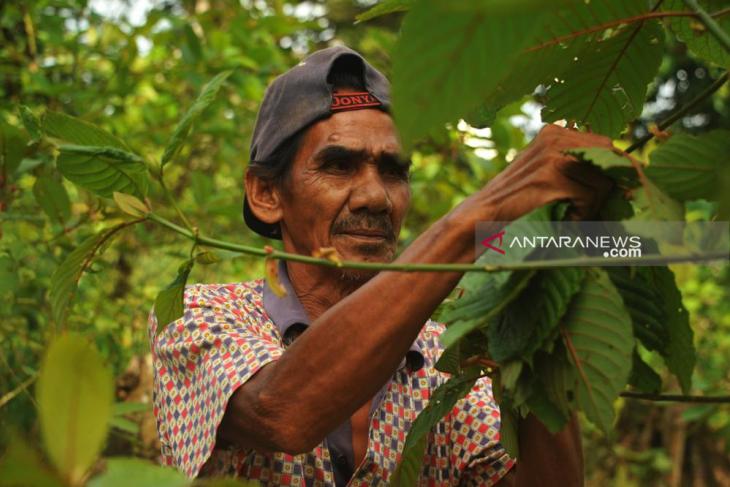 Gubernur Kalbar dan Bupati Kapuas Hulu minta BNN tunda pelarangan Kratom