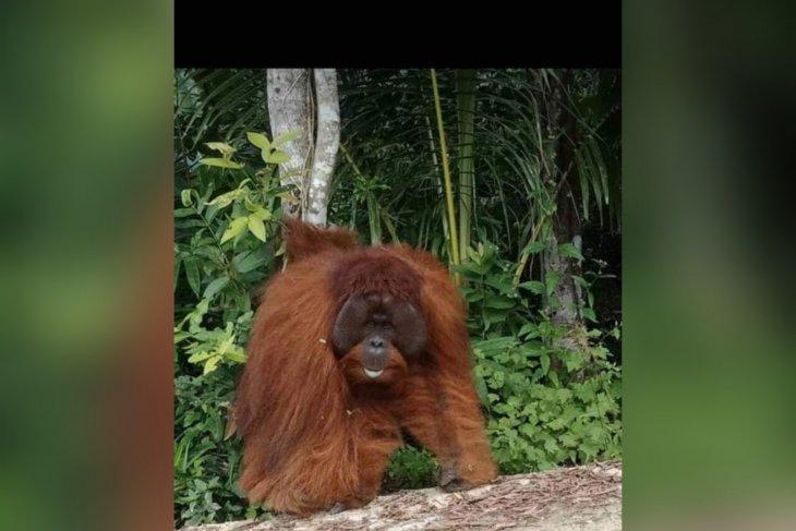 Six orangutans released back into wild