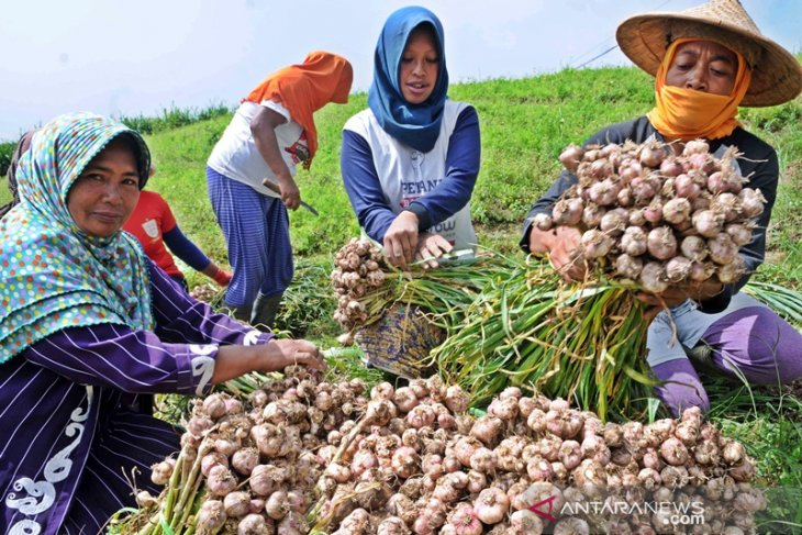 Central Sulawesi to cultivate garlic to meet local demand