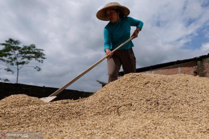 Harga gabah  di Karawang capai Rp4.200 per kilogram