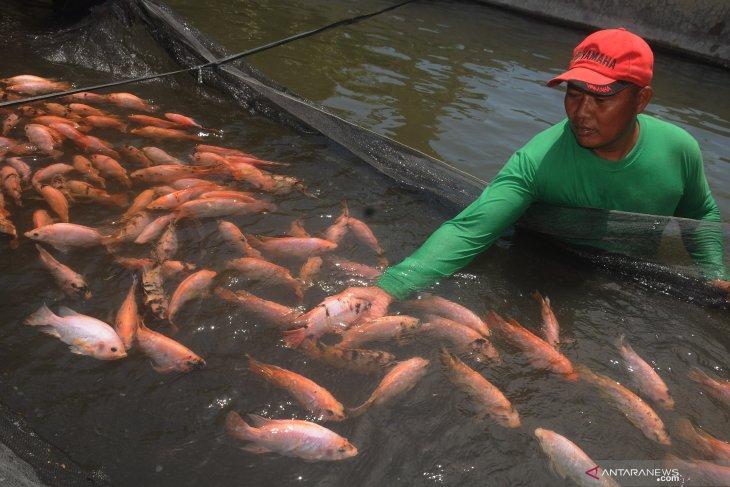 Babinsa Musirawas kembangkan budidaya ikan nila dan lele