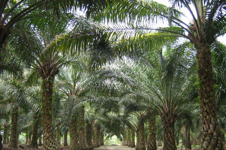 Indef: Perundingan bilateral kunci Indonesia hadapi proteksi sawit