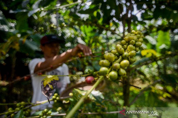 Kata Peneliti, produktivitas kopi di Indonesia masih rendah