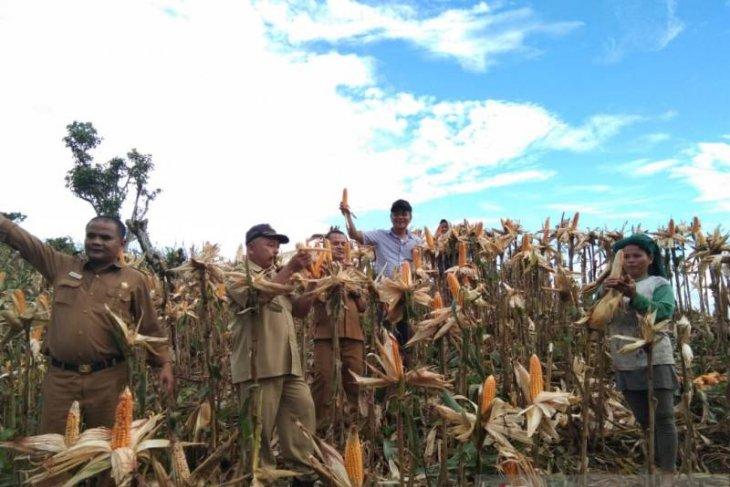Petani Jagung Nias Selatan terapkan penanaman pola bertahap
