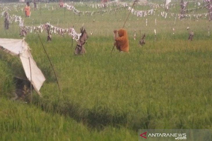 Petani Abdya keluhkan meningkatnya hama burung