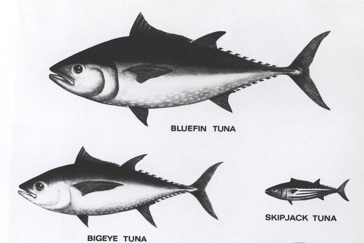 KKP, Association of Fisheries promote sustainable tuna industry