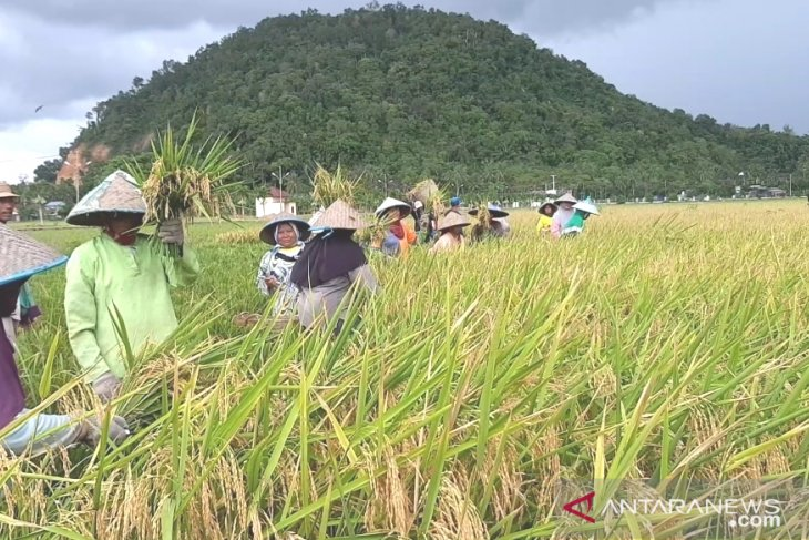Global rice market sensitivity be accorded to right domestic policy