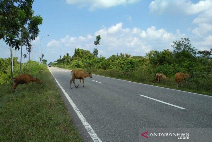 Waspadai ternak berkeliaran di Jalinsum Mukomuko