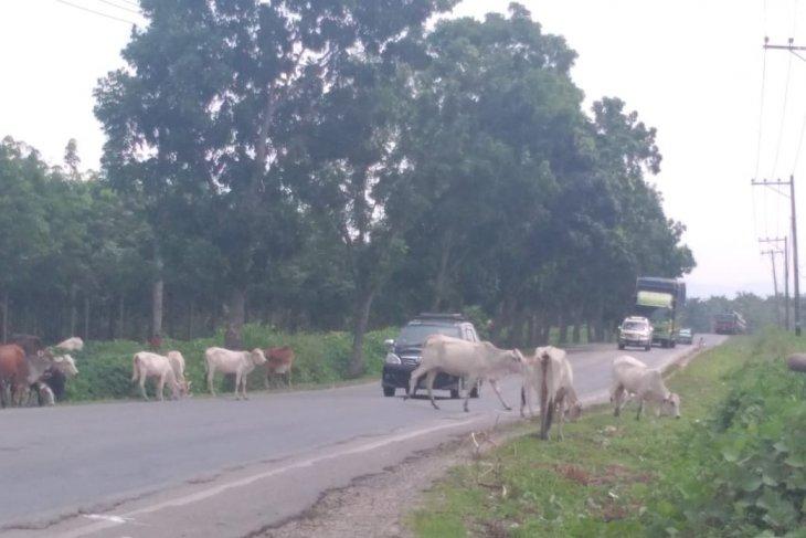 Polisi siap membantu tertibkan ternak di Jalan Lintas Sumatera