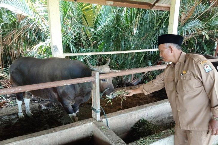 Populasi ternak kerbau di Aceh Barat meningkat 25.000 ekor lebih