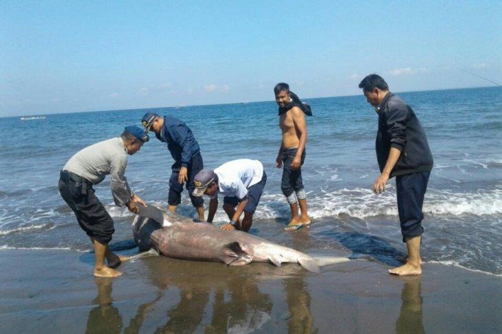 Seekor hiu terdampar di pantai Jembrana