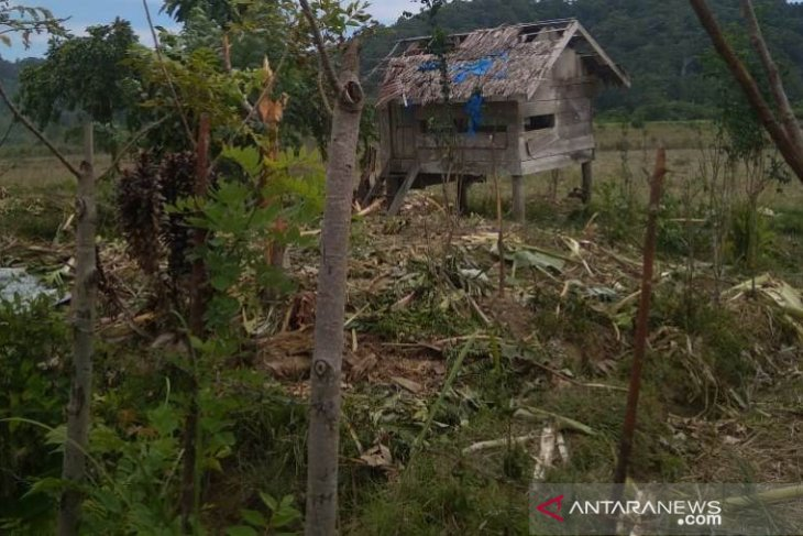 Kawanan gajah liar obrak abrik sawah dan kebun warga di Aceh Jaya