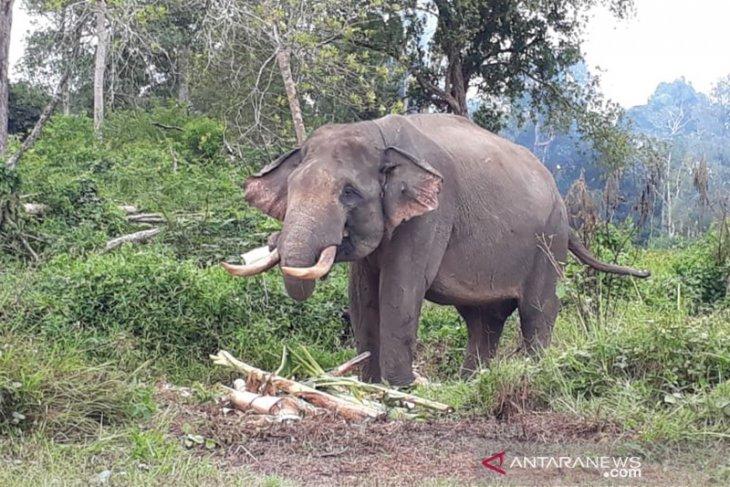 Habitat loss triggers Sumatran elephant-human conflict