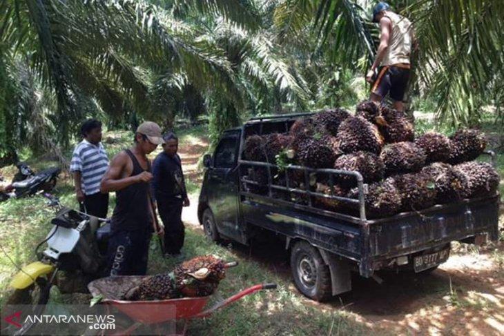 Harga TBS kelapa sawit di Bengkulu anjlok Rp1.800 per Kg