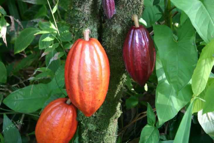 Kabupaten Manokwari terima program pengembangan kakao Indonesia-Kanada
