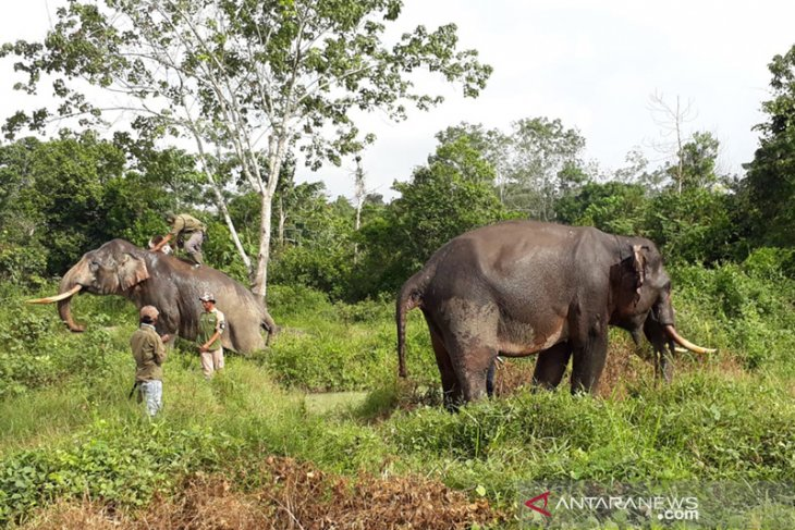 Trained elephants ill after 10 days of expelling wild elephants