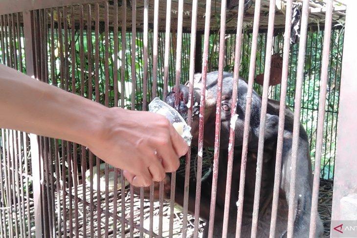 Ini penjelasan Pengelola Sinka Zoo tentang beruang madu yang viral