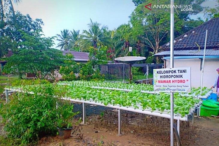 Indocement latih petani Kotabaru cara bertani sistem hidroponik