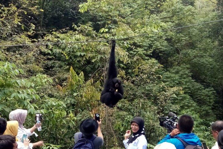 Melihat aksi ratusan monyet di Aek Nauli Danau Toba