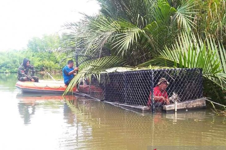 man-eating crocodile in Aceh caught