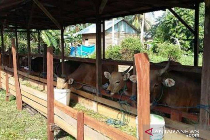 Populasi hewan ternak sapi Penajam capai 16.900 ekor