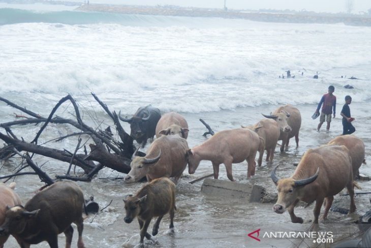 Populasi kerbau rawa di Abdya semakin berkurang