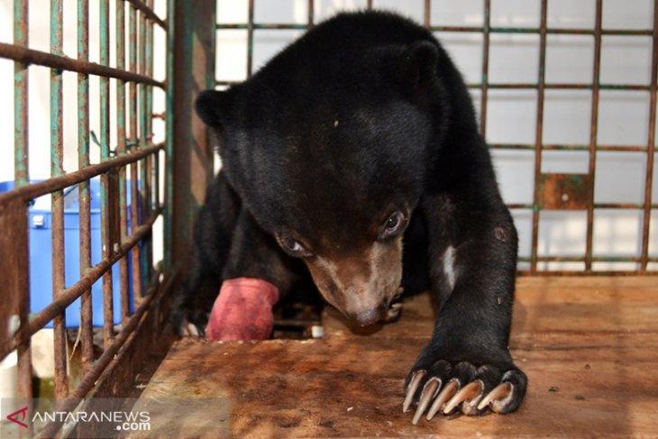 Terjerat tali nilon, kaki anak beruang diamputasi
