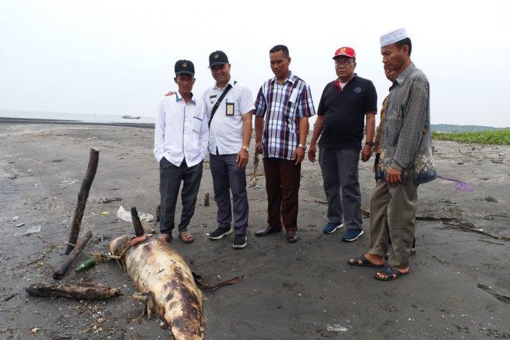 Ikan  lumba lumba mati di KwalaBesar Langkat sering terjadi