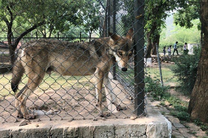Pejabat Pakistan bertengkar gara-gara serigala kurus di kebun binatang