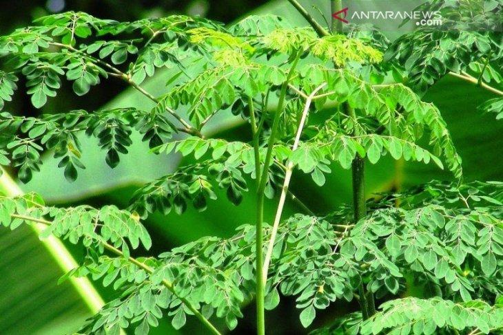 Mungkinkah daun kelor bisa mengatasi kekerdilan?