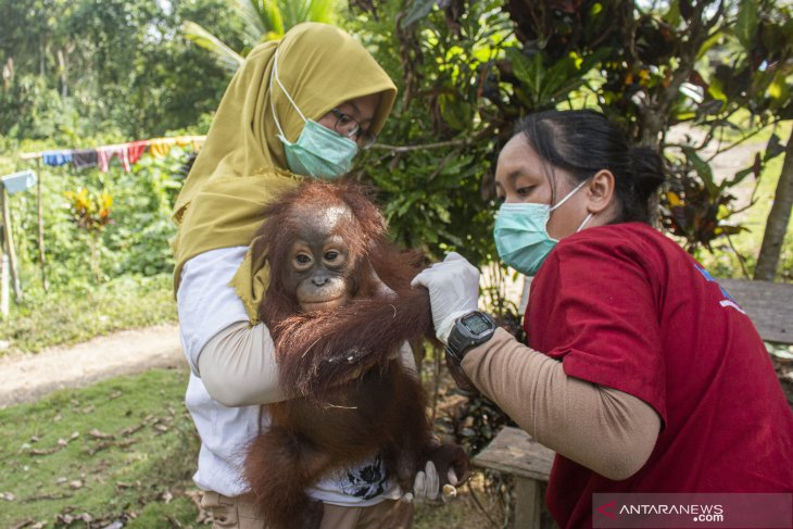 BKSDA kembali selamatkan bayi orang utan peliharaan warga