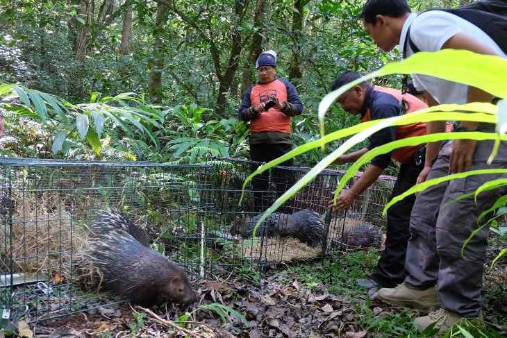 Six Javanese porcupines released into Lake Buyan Natural Park