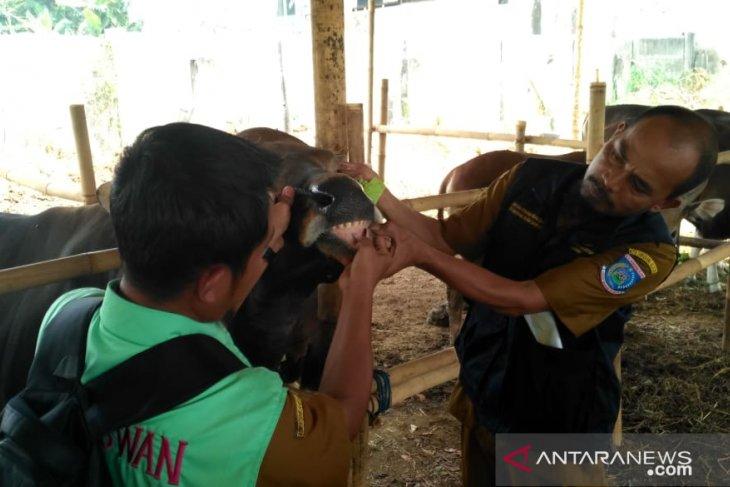 Pastikan kesehatan hewan qurban, ratusan ekor sapi diperiksa petugas