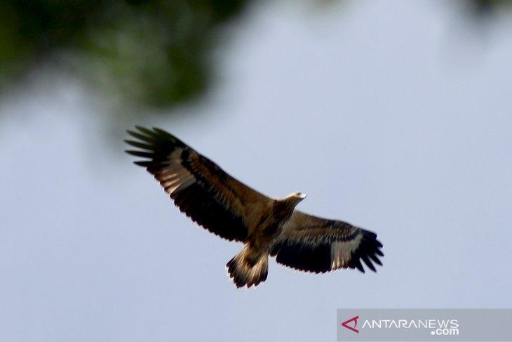 Bondol eagles only 18 left in Seribu Islands