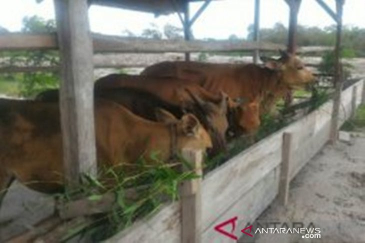 Wasprod PT Timah Toboali bantu empat sapi kurban