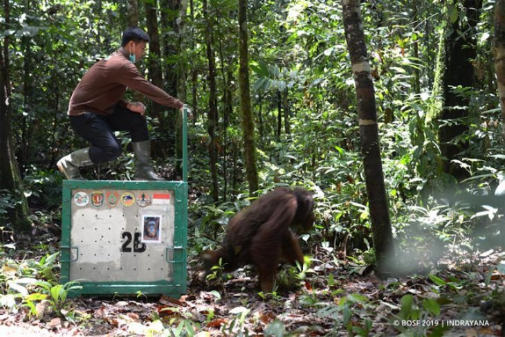 Eight orangutans released in C Kalimantan forest
