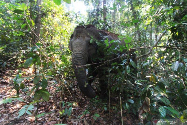 Tim BKSDA giring rombongan gajah ke hutan