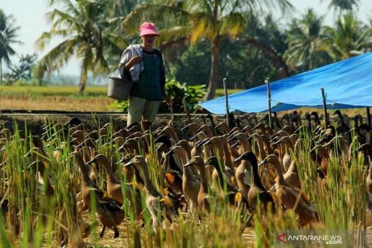 Kepolpok peternak Musi Banyuasin terima ribuan itik