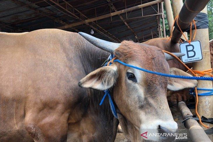Presiden Jokowi sumbang seekor sapi kurban ke NTT