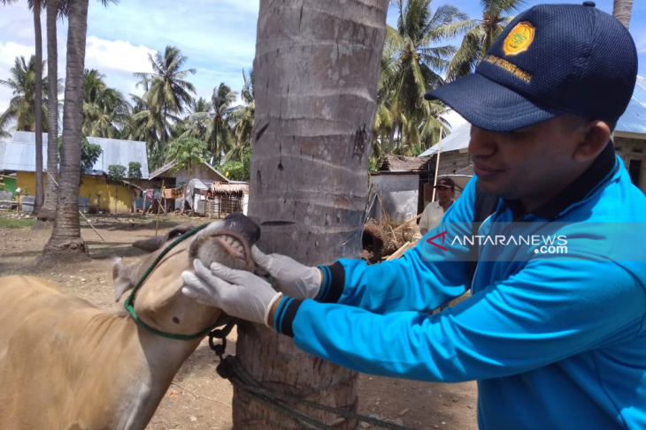 Disnakkeswan Gorontalo Utara akan fokus periksa bagian organ hewan kurban